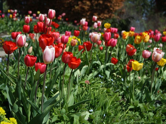 Tulips are in full display at the spring tour. Grisak.JPG