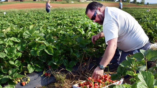 Merle Miller of Stuarts Draft picks strawberries Thursday, May 26, 2016, at a Ladd farm. The Troyers' u-pick berry patch was open later to accommodate people who wanted to stop by after work. It was Miller's first visit.