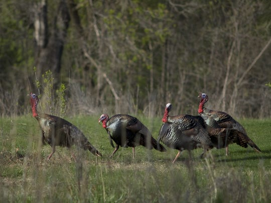 The bag limit for hunters across northern Arkansas is two adult gobblers or bearded hens, but no jakes.