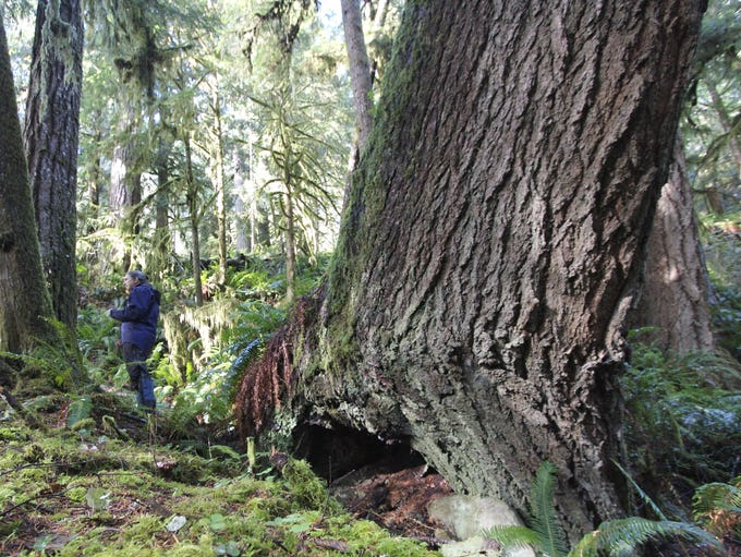 """The trees in the proposed Devil's Staircase are massive, including this one, in the """"dark grove"""" area of the forest east of Reedsport."""