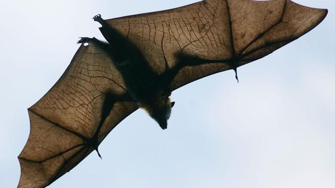 A bat found in south Eugene is the first discovered Oregon case of bat rabies in 2020.