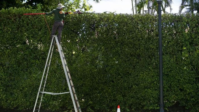 A landscape worker trims a ficus hedge along North County Road.