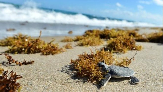 A sea turtle hatchling makes its way to the Atlantic Ocean.