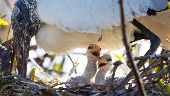 Wood Stork baby birds peak out of their nest under the protective cover of their mother at Wakodahatchee Wetlands, March 13, 2018, in Delray Beach.