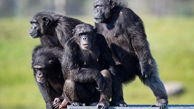 A cold virus from chimpanzees is central to a vaccine under trial in Palm Beach County.