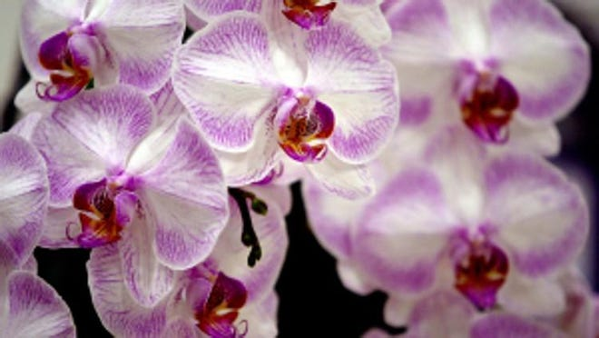 A blooming Phalaenopsis Newberry Parfait orchid. The Greater Akron Orchid Society will hold a virtual meeting Sept. 14. Anyone can attend. More information on the meeting can be found at