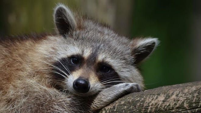File photo of a raccoon