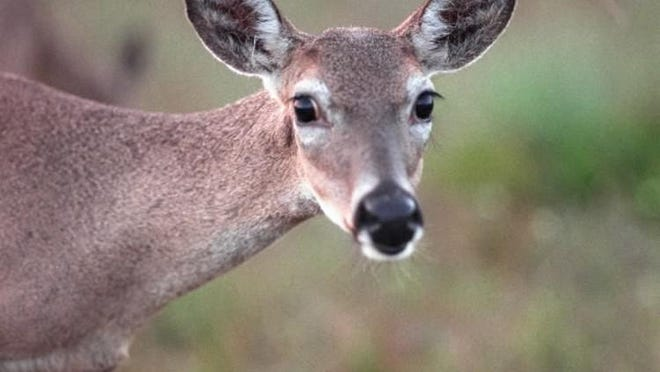 The next three months is the peak season for vehicle-deer accidents.