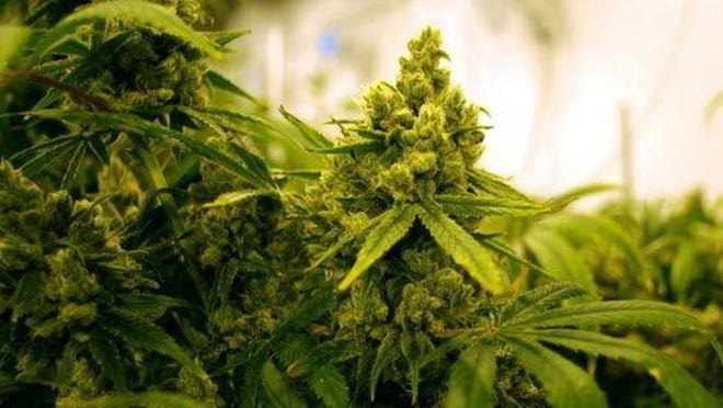 Medical marijuana plant.