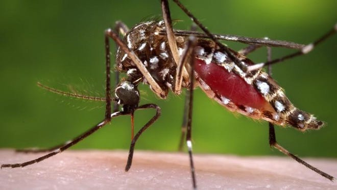 This 2006 file photo provided by the Centers for Disease Control and Prevention shows a female Aedes aegypti mosquito in the process of acquiring a blood meal from a human host.