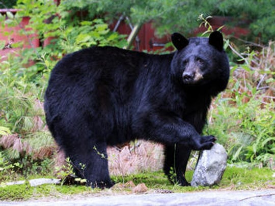 This file photo shows a black bear in the wild. FWC officials are attempting to capture a black bear after it attacked and killed a dog in Gulf Breeze on Sunday.