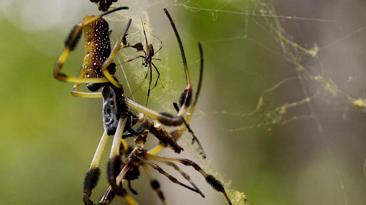 Find out about spiders, like this female banana spider,