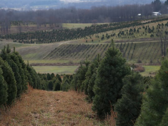 Wade and Gatton Nurseries plants 10,000 pine trees each year on its property  near Bellville. They have many varieties, including Scotch pine, Fraser fir and white spruce.