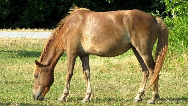 The pony identified as N2BHS-AI, or Chama Wingapo, was found dead in a campground. She was 7 years old.