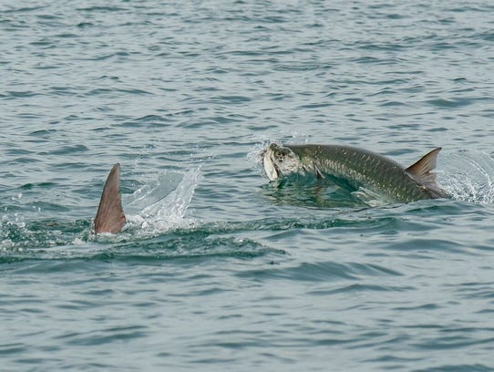 Tarpon swim in a daisy chain, circling and popping