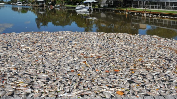 Thousands of multi-species of fish were killed in the Indian River Lagoon from Cape Canaveral south to Melbourne. Photo shows dead fish blown into the end of a canal on Yacht Haven Drive in Cocoa Beach.