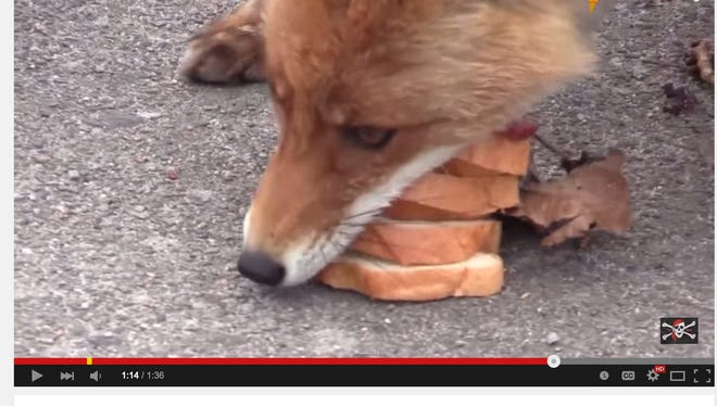 A radio crew visiting Chernobyl, Ukraine, laid pieces of bread and meat on the ground and recorded a fox stacking the food in his mouth like a sandwich,