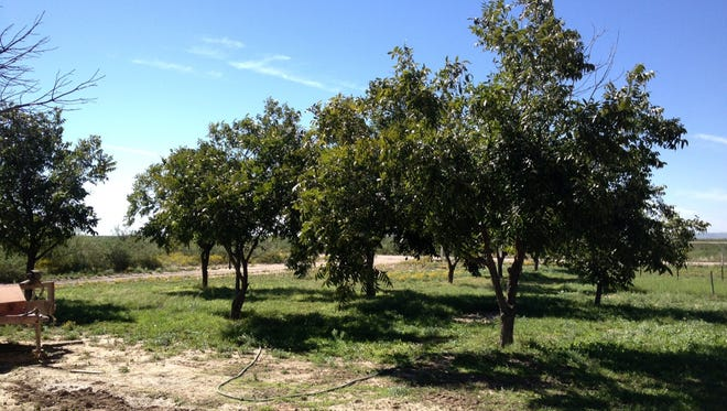 Pecan tress in Eddy County