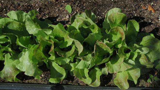 Lettuce is one plant gardeners can look forward to planting this time of year, but beware when temperatures dip down to freezing.