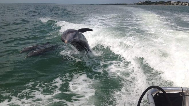 Dolphins play in the wake of an Island Girl Charter.