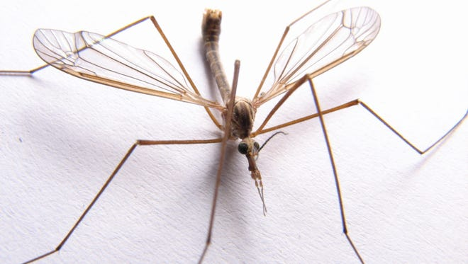 Crane flies are harmless to people but can cause problems with lawns.