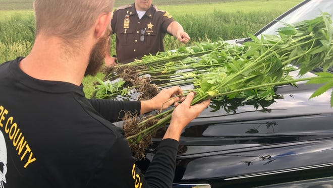 Delaware County Sheriff Ray Dudley and a Drug Task Force deputy seize 20 marijuana plants found in a cornfield north of Muncie on Tuesday evening.