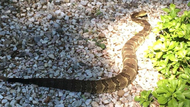 A venomous timber rattlesnake was found in Ramapo on July 4, 2016.