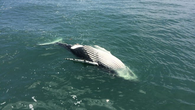 A dead, humpback whale floats in the water off Port Mahon. It stranded in Delaware Bay early last week.
