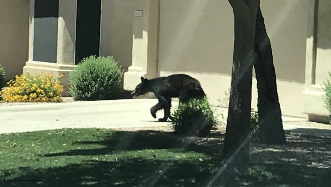 A black bear was seen in the Red Mountain Ranch area of Mesa on May 17, 2018.