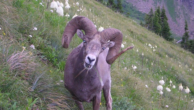 Big Horn Sheep can often be seen along the Highline Trail in Glacier National Park