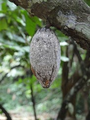A dead, dried up cocoa pod that was attacked by the
