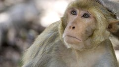 Rhesus macaques are the type of monkey exposed to the