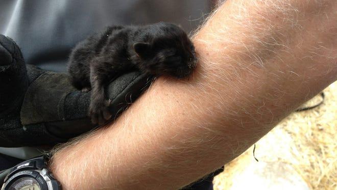 Farmington Hills Fire Lt. Jason Baloga holds the tiny kitten rescued from a drain.