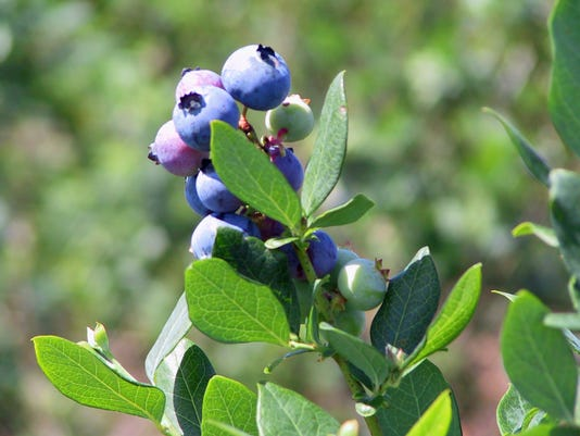 blueberry credit Florida Fruit & Vegetable Association.jpg