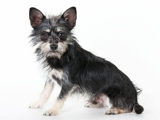 Chase, 6-month-old male terrier mix puppy. No. 100400.