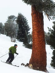 A skier makes his way around a huge tree below the