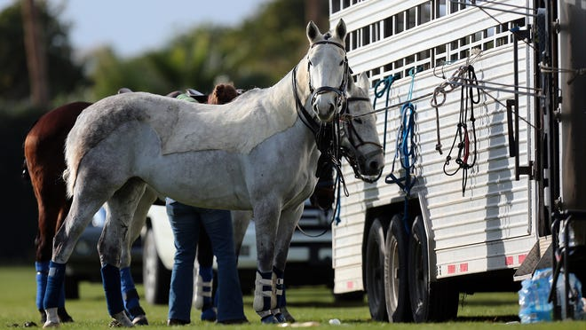Playing horses wait to be pulled into play by team M3 Strolling Wild during their five chukker polo match against Lazy 3 on Sunday, January 4, 2015 at Empire Polo Club in Indio. Players can switch horses during the match.