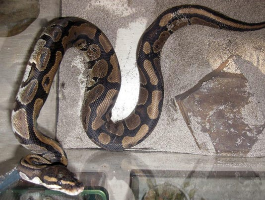 40 pythons found in Canadian motel