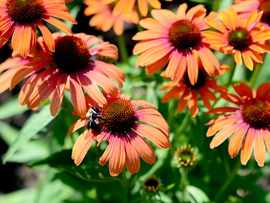 A bee lands on a patch of Echinacea 'Julia' in Charlotte