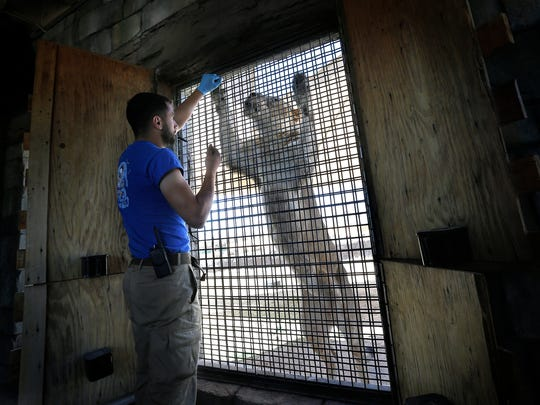 El Paso Zoo zookeeper AJ Citro works Thursday with Kalliope, one of the zoo's three lionesses. The zoo is introducing the lionesses one at a time to lion Rudo in the hope they will breed.