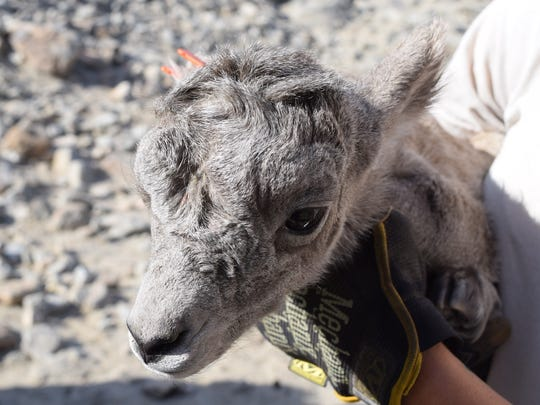A bighorn sheep born at The Living Desert in Palm Desert on March 28, 2016.