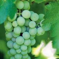 Southwest Yard and Garden: What kind of grapes grow best in New Mexico?