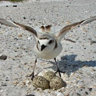 The National Park Service warns motorists to slow down for shorebirds with nesting underway
