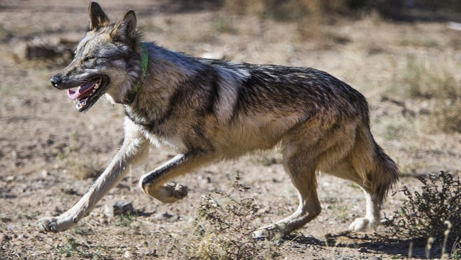 A male Mexican gray wolf tries to elude capture inside an enclosure at Sevilleta National Wildlife Refuge in New Mexico, Nov. 8, 2017.  The wolf was to be transported to the Endangered Wolf Center in Eureka, Missouri, for breeding purposes.
