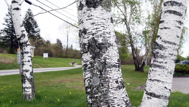 Birch trees along Route 22 in Patterson May 6, 2015.