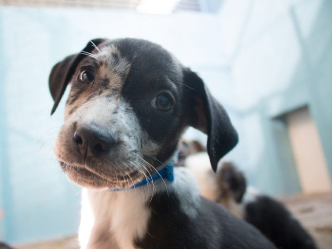 Twenty puppies are up for adoption at the Arizona Animal