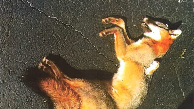 James S. Sanderson, a candidate for Green Bay City Council, admitted to placing a dead fox and other animals on his former boss' driveway.