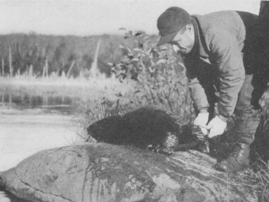 In 1921, biologists trapped six beavers at Old Forge, New York and released them in Bennington County. In a little more than two decades, the beaver population rose to more than 8,000 in Vermont.