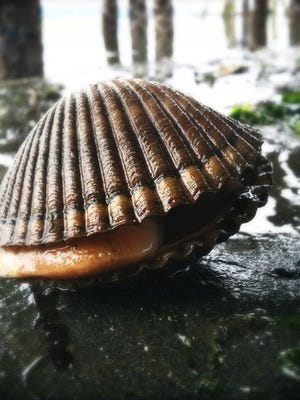 A cockle at low tide.