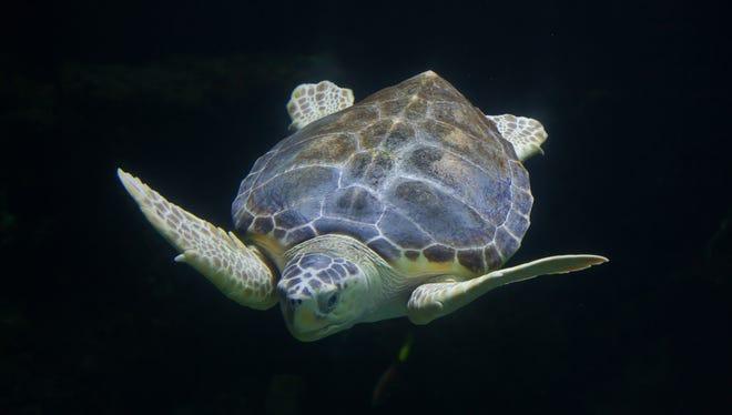 An example of a loggerhead sea turtle.